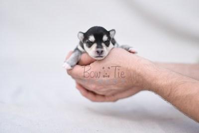 puppy12 BowTiePomsky.com Bowtie Pomsky Puppy For Sale Husky Pomeranian Mini Dog Spokane WA Breeder Blue Eyes Pomskies photo5