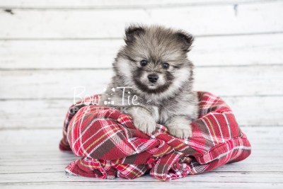 puppy13 BowTiePomsky.com Bowtie Pomsky Puppy For Sale Husky Pomeranian Mini Dog Spokane WA Breeder Blue Eyes Pomskies photo10