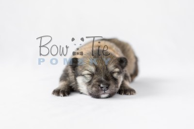 puppy13 BowTiePomsky.com Bowtie Pomsky Puppy For Sale Husky Pomeranian Mini Dog Spokane WA Breeder Blue Eyes Pomskies photo12