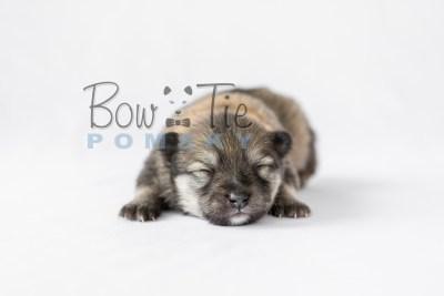 puppy13 BowTiePomsky.com Bowtie Pomsky Puppy For Sale Husky Pomeranian Mini Dog Spokane WA Breeder Blue Eyes Pomskies photo12