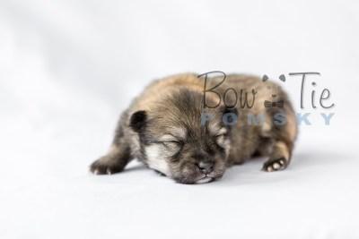 puppy13 BowTiePomsky.com Bowtie Pomsky Puppy For Sale Husky Pomeranian Mini Dog Spokane WA Breeder Blue Eyes Pomskies photo16