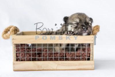 puppy13 BowTiePomsky.com Bowtie Pomsky Puppy For Sale Husky Pomeranian Mini Dog Spokane WA Breeder Blue Eyes Pomskies photo17