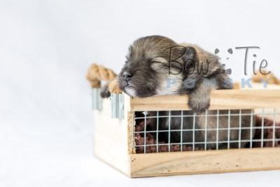 puppy13 BowTiePomsky.com Bowtie Pomsky Puppy For Sale Husky Pomeranian Mini Dog Spokane WA Breeder Blue Eyes Pomskies photo18