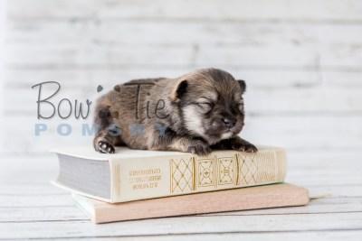 puppy13 BowTiePomsky.com Bowtie Pomsky Puppy For Sale Husky Pomeranian Mini Dog Spokane WA Breeder Blue Eyes Pomskies photo20