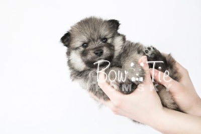 puppy13 BowTiePomsky.com Bowtie Pomsky Puppy For Sale Husky Pomeranian Mini Dog Spokane WA Breeder Blue Eyes Pomskies photo24