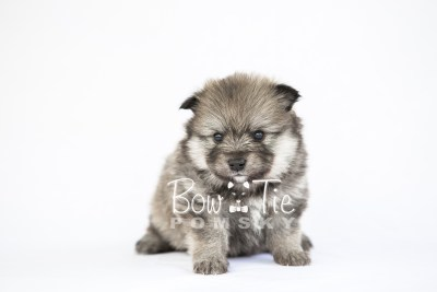 puppy13 BowTiePomsky.com Bowtie Pomsky Puppy For Sale Husky Pomeranian Mini Dog Spokane WA Breeder Blue Eyes Pomskies photo26