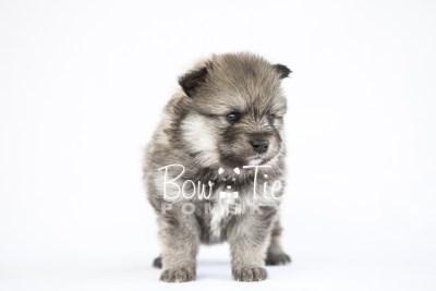 puppy13 BowTiePomsky.com Bowtie Pomsky Puppy For Sale Husky Pomeranian Mini Dog Spokane WA Breeder Blue Eyes Pomskies photo27