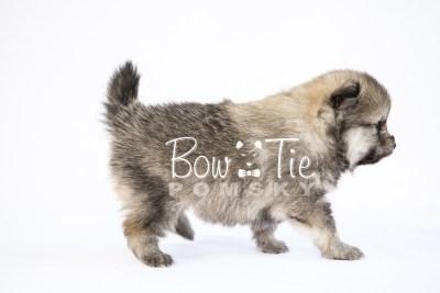 puppy13 BowTiePomsky.com Bowtie Pomsky Puppy For Sale Husky Pomeranian Mini Dog Spokane WA Breeder Blue Eyes Pomskies photo34