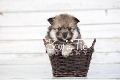 puppy13 BowTiePomsky.com Bowtie Pomsky Puppy For Sale Husky Pomeranian Mini Dog Spokane WA Breeder Blue Eyes Pomskies photo35