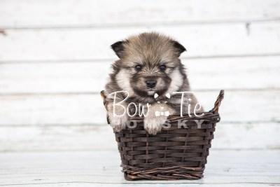 puppy13 BowTiePomsky.com Bowtie Pomsky Puppy For Sale Husky Pomeranian Mini Dog Spokane WA Breeder Blue Eyes Pomskies photo35