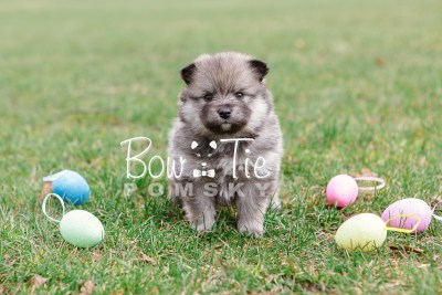 puppy13 BowTiePomsky.com Bowtie Pomsky Puppy For Sale Husky Pomeranian Mini Dog Spokane WA Breeder Blue Eyes Pomskies photo37