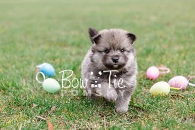 puppy13 BowTiePomsky.com Bowtie Pomsky Puppy For Sale Husky Pomeranian Mini Dog Spokane WA Breeder Blue Eyes Pomskies photo38