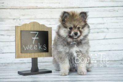 puppy13 BowTiePomsky.com Bowtie Pomsky Puppy For Sale Husky Pomeranian Mini Dog Spokane WA Breeder Blue Eyes Pomskies photo5