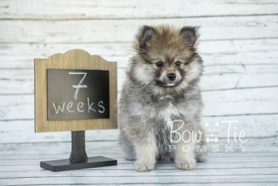 puppy13 BowTiePomsky.com Bowtie Pomsky Puppy For Sale Husky Pomeranian Mini Dog Spokane WA Breeder Blue Eyes Pomskies photo5