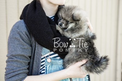 puppy13 BowTiePomsky.com Bowtie Pomsky Puppy For Sale Husky Pomeranian Mini Dog Spokane WA Breeder Blue Eyes Pomskies photo7