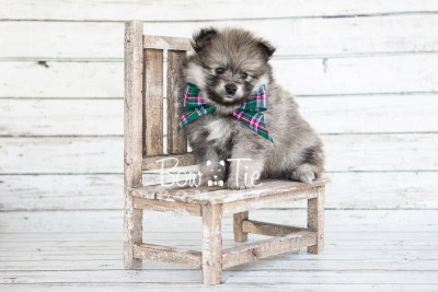 puppy13 BowTiePomsky.com Bowtie Pomsky Puppy For Sale Husky Pomeranian Mini Dog Spokane WA Breeder Blue Eyes Pomskies photo8
