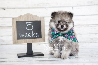 puppy13 BowTiePomsky.com Bowtie Pomsky Puppy For Sale Husky Pomeranian Mini Dog Spokane WA Breeder Blue Eyes Pomskies photo9