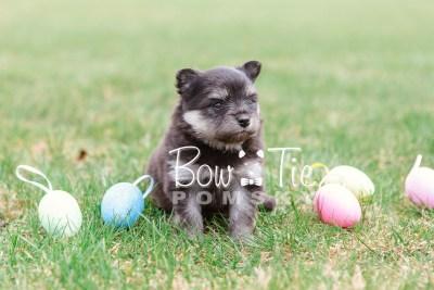 puppy14 BowTiePomsky.com Bowtie Pomsky Puppy For Sale Husky Pomeranian Mini Dog Spokane WA Breeder Blue Eyes Pomskies photo25