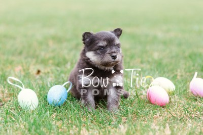 puppy14 BowTiePomsky.com Bowtie Pomsky Puppy For Sale Husky Pomeranian Mini Dog Spokane WA Breeder Blue Eyes Pomskies photo25