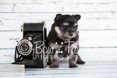 puppy14 BowTiePomsky.com Bowtie Pomsky Puppy For Sale Husky Pomeranian Mini Dog Spokane WA Breeder Blue Eyes Pomskies photo33