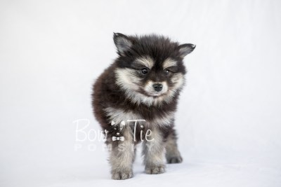 puppy14 BowTiePomsky.com Bowtie Pomsky Puppy For Sale Husky Pomeranian Mini Dog Spokane WA Breeder Blue Eyes Pomskies photo4