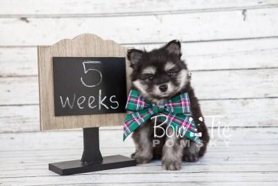 puppy14 BowTiePomsky.com Bowtie Pomsky Puppy For Sale Husky Pomeranian Mini Dog Spokane WA Breeder Blue Eyes Pomskies photo5