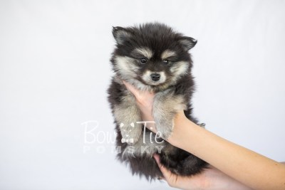 puppy14 BowTiePomsky.com Bowtie Pomsky Puppy For Sale Husky Pomeranian Mini Dog Spokane WA Breeder Blue Eyes Pomskies photo6