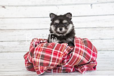 puppy14 BowTiePomsky.com Bowtie Pomsky Puppy For Sale Husky Pomeranian Mini Dog Spokane WA Breeder Blue Eyes Pomskies photo7