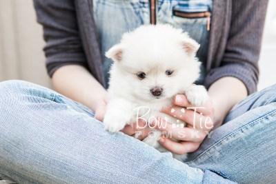 puppy15 BowTiePomsky.com Bowtie Pomsky Puppy For Sale Husky Pomeranian Mini Dog Spokane WA Breeder Blue Eyes Pomskies photo23
