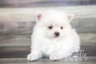 puppy15 BowTiePomsky.com Bowtie Pomsky Puppy For Sale Husky Pomeranian Mini Dog Spokane WA Breeder Blue Eyes Pomskies photo29