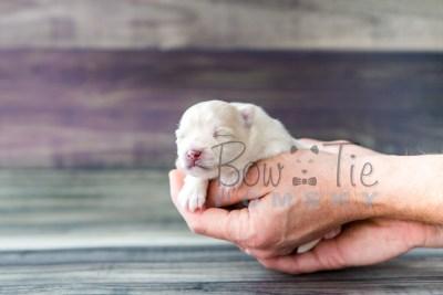 puppy15 BowTiePomsky.com Bowtie Pomsky Puppy For Sale Husky Pomeranian Mini Dog Spokane WA Breeder Blue Eyes Pomskies photo3
