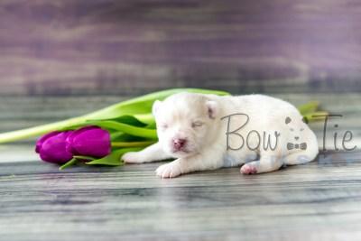 puppy15 BowTiePomsky.com Bowtie Pomsky Puppy For Sale Husky Pomeranian Mini Dog Spokane WA Breeder Blue Eyes Pomskies photo5