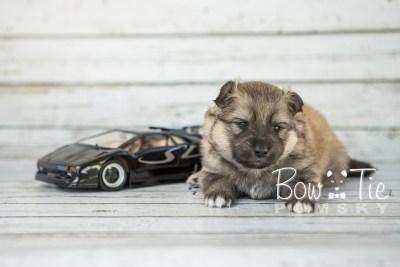 puppy16 BowTiePomsky.com Bowtie Pomsky Puppy For Sale Husky Pomeranian Mini Dog Spokane WA Breeder Blue Eyes Pomskies photo10