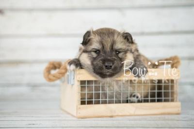 puppy16 BowTiePomsky.com Bowtie Pomsky Puppy For Sale Husky Pomeranian Mini Dog Spokane WA Breeder Blue Eyes Pomskies photo11