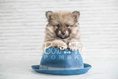 puppy16 BowTiePomsky.com Bowtie Pomsky Puppy For Sale Husky Pomeranian Mini Dog Spokane WA Breeder Blue Eyes Pomskies photo19