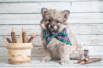 puppy16 BowTiePomsky.com Bowtie Pomsky Puppy For Sale Husky Pomeranian Mini Dog Spokane WA Breeder Blue Eyes Pomskies photo21