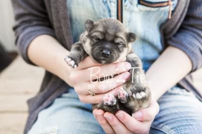 puppy16 BowTiePomsky.com Bowtie Pomsky Puppy For Sale Husky Pomeranian Mini Dog Spokane WA Breeder Blue Eyes Pomskies photo6