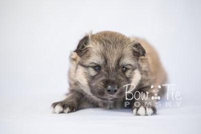 puppy16 BowTiePomsky.com Bowtie Pomsky Puppy For Sale Husky Pomeranian Mini Dog Spokane WA Breeder Blue Eyes Pomskies photo7