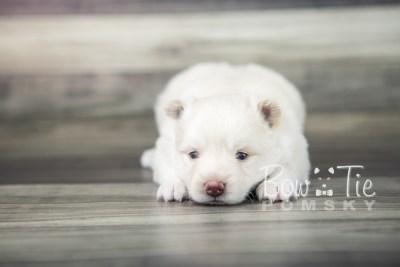 puppy17 BowTiePomsky.com Bowtie Pomsky Puppy For Sale Husky Pomeranian Mini Dog Spokane WA Breeder Blue Eyes Pomskies photo11
