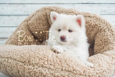 puppy17 BowTiePomsky.com Bowtie Pomsky Puppy For Sale Husky Pomeranian Mini Dog Spokane WA Breeder Blue Eyes Pomskies photo18