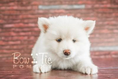 puppy17 BowTiePomsky.com Bowtie Pomsky Puppy For Sale Husky Pomeranian Mini Dog Spokane WA Breeder Blue Eyes Pomskies photo20