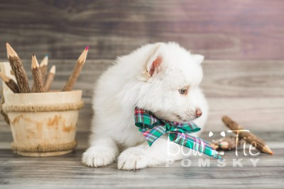 puppy17 BowTiePomsky.com Bowtie Pomsky Puppy For Sale Husky Pomeranian Mini Dog Spokane WA Breeder Blue Eyes Pomskies photo22