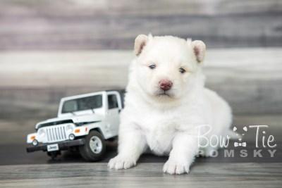 puppy17 BowTiePomsky.com Bowtie Pomsky Puppy For Sale Husky Pomeranian Mini Dog Spokane WA Breeder Blue Eyes Pomskies photo9