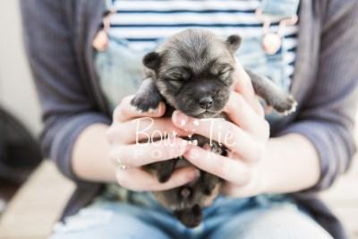puppy18 BowTiePomsky.com Bowtie Pomsky Puppy For Sale Husky Pomeranian Mini Dog Spokane WA Breeder Blue Eyes Pomskies photo10