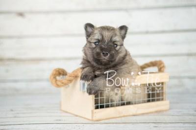puppy18 BowTiePomsky.com Bowtie Pomsky Puppy For Sale Husky Pomeranian Mini Dog Spokane WA Breeder Blue Eyes Pomskies photo11