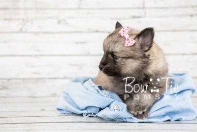 puppy18 BowTiePomsky.com Bowtie Pomsky Puppy For Sale Husky Pomeranian Mini Dog Spokane WA Breeder Blue Eyes Pomskies photo13