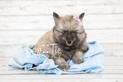 puppy18 BowTiePomsky.com Bowtie Pomsky Puppy For Sale Husky Pomeranian Mini Dog Spokane WA Breeder Blue Eyes Pomskies photo14