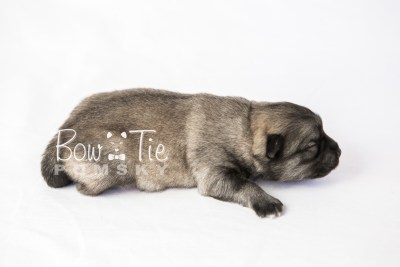 puppy18 BowTiePomsky.com Bowtie Pomsky Puppy For Sale Husky Pomeranian Mini Dog Spokane WA Breeder Blue Eyes Pomskies photo2