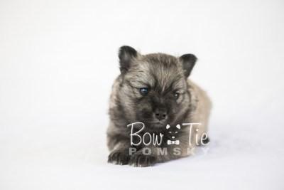 puppy18 BowTiePomsky.com Bowtie Pomsky Puppy For Sale Husky Pomeranian Mini Dog Spokane WA Breeder Blue Eyes Pomskies photo6