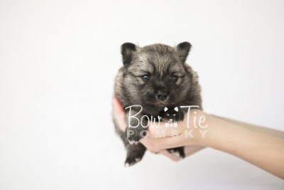 puppy18 BowTiePomsky.com Bowtie Pomsky Puppy For Sale Husky Pomeranian Mini Dog Spokane WA Breeder Blue Eyes Pomskies photo7